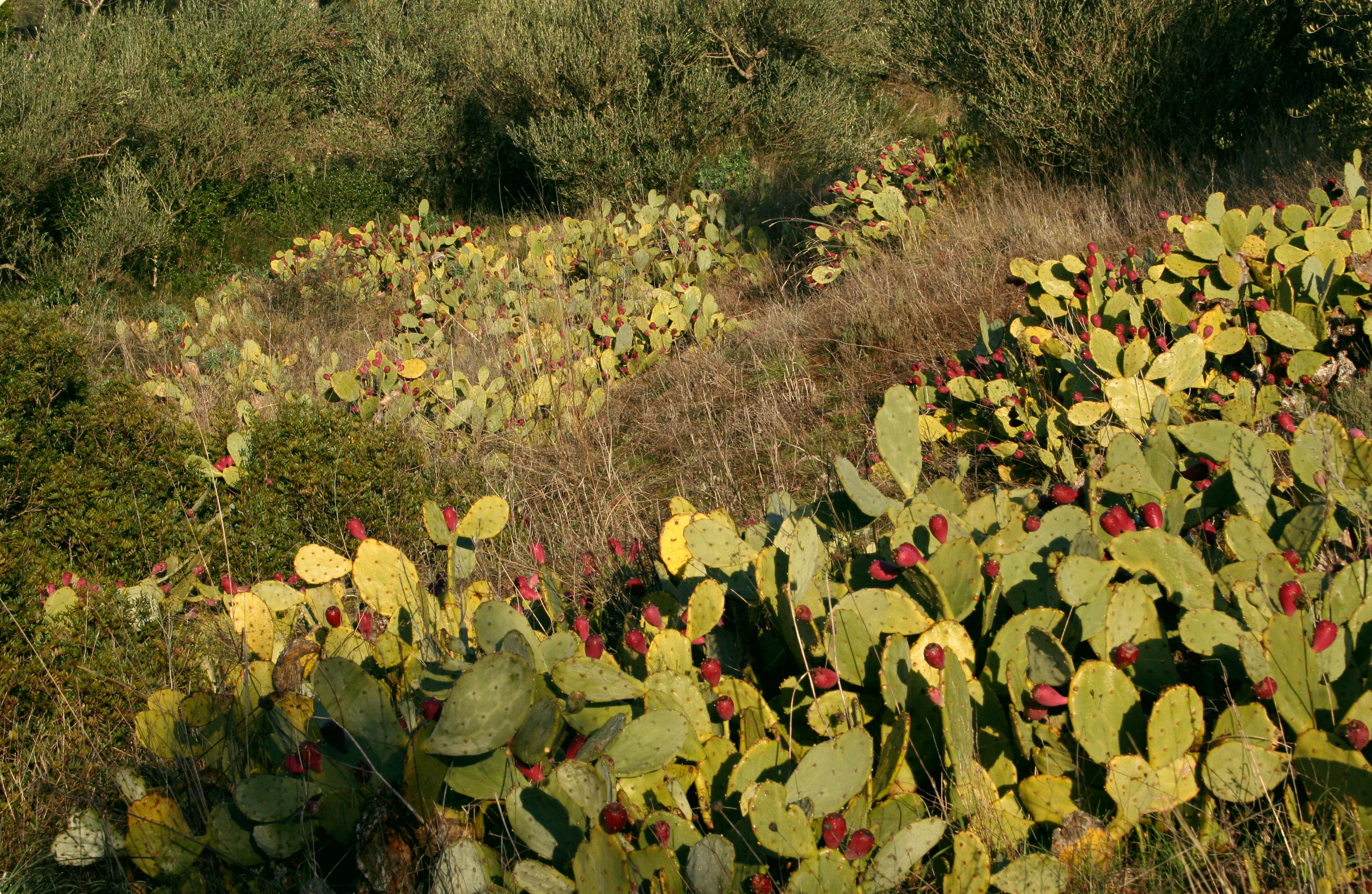 Boutures de figuiers de barabarie - jardiner avec Rose Philange