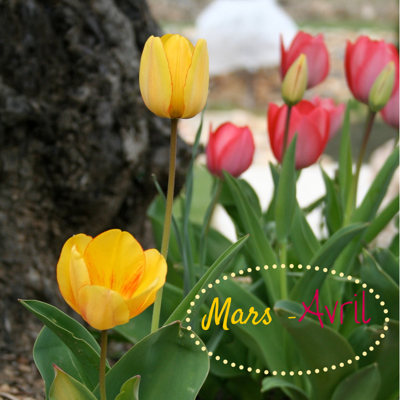 Tulipes mars avril