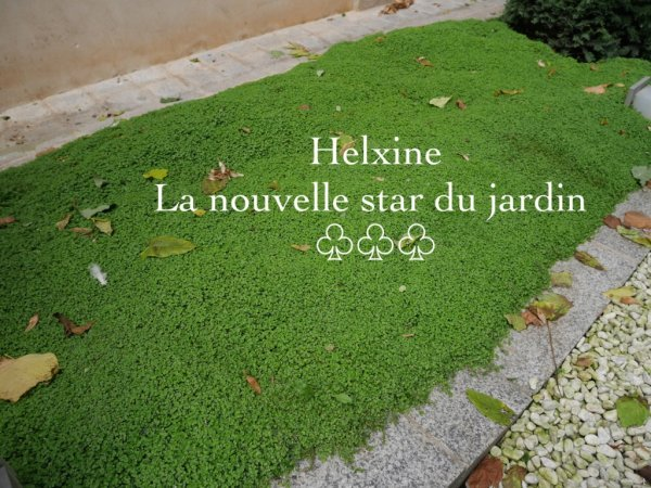 Helxine couvre sol